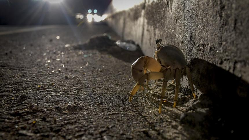 Cangrejos azules: una especie que sigue luchando por sobrevivir