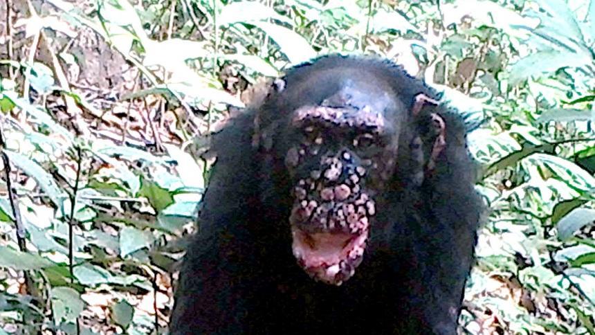 Confirman casos de lepra en chimpancés salvajes