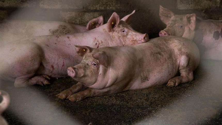 Países del CAN se unen para evitar brote de peste porcina africana