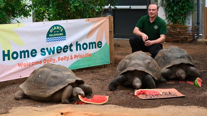 Las tortugas gigantes de Galápagos tienen nuevo hogar en zoológico de Londres