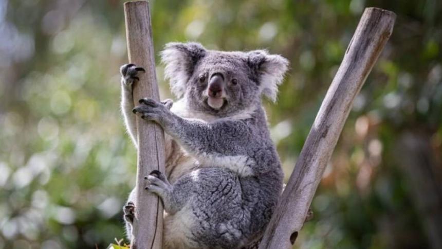 """Australia intenta crear """"súper koalas"""""""