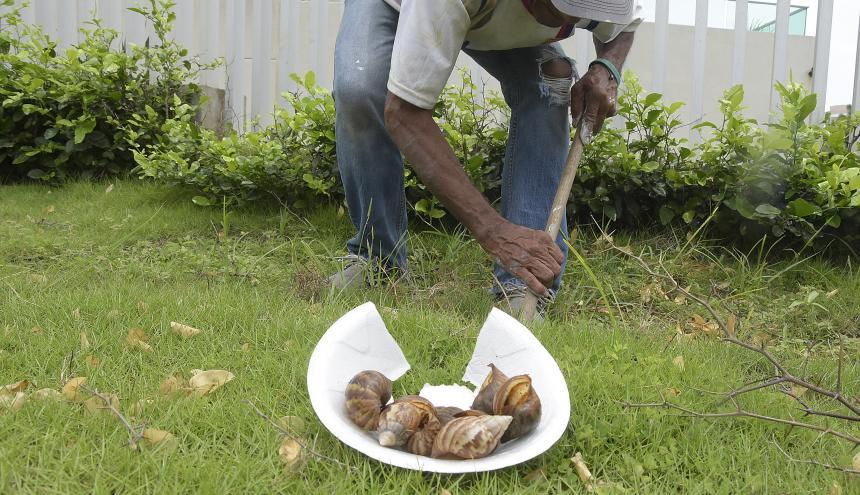 Juan muestra cascarones que dejaron los caracoles.