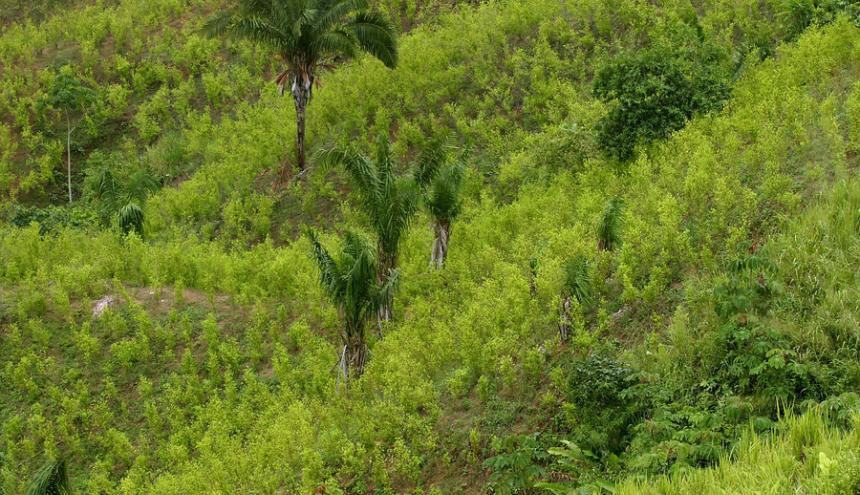 Zona de cultivo de coca.