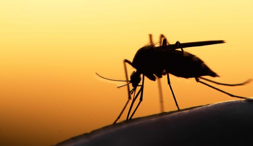 El mosquito Anopheles.