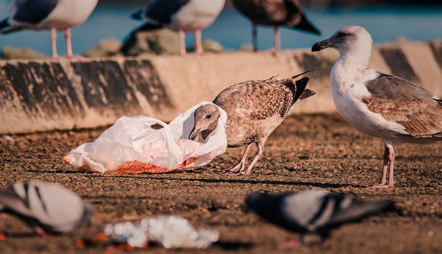 Un ave enreda su cuello en una bolsa de plástico, material que tarda 150 años en desintegrarse.