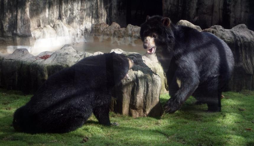 Chucho juega con la osa con la que comparte el hábitat en el zoológico.