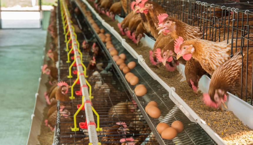 La alimentación de aves para producir carne de pollo es importada.