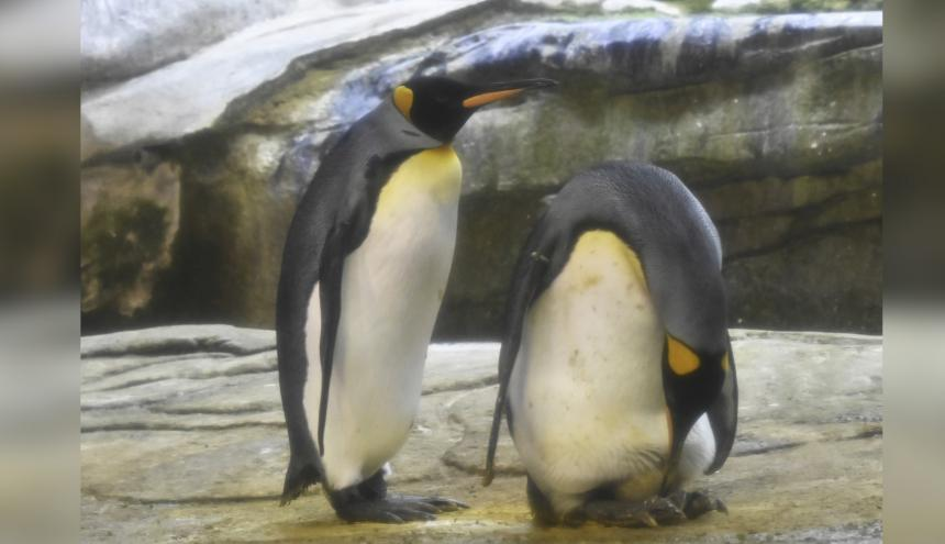 Pareja de  pingüinos macho Skipper y Ping.