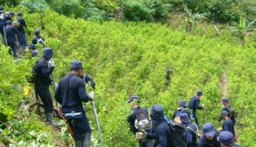 Aspectos de la erradicación en un cultivo de coca.