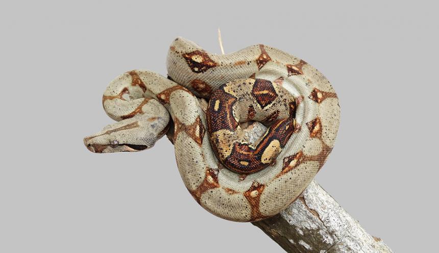 Boa constrictor, una de las especies comunes en nuestra zona.