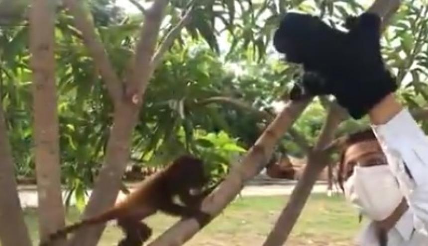 Un rehabilitador guía a un mono con ayuda de un peluche.