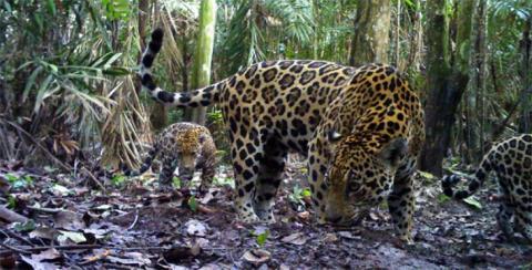 Suministrada por fundación Panthera