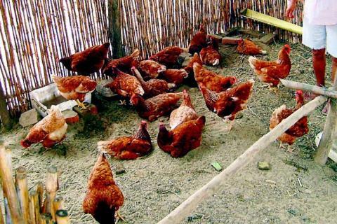 Un grupo de gallinas mató a un zorro por invadir su gallinero