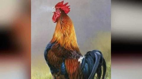 ¡Insólito! Demandan a gallo por cantar muy temprano en Francia