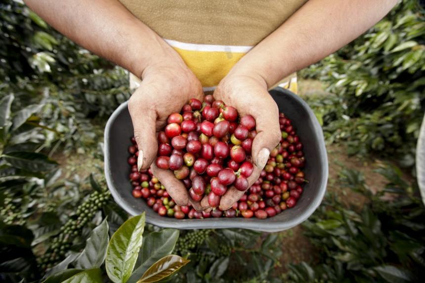 Producción de café de Colombia crece 4,8% en lo corrido del año