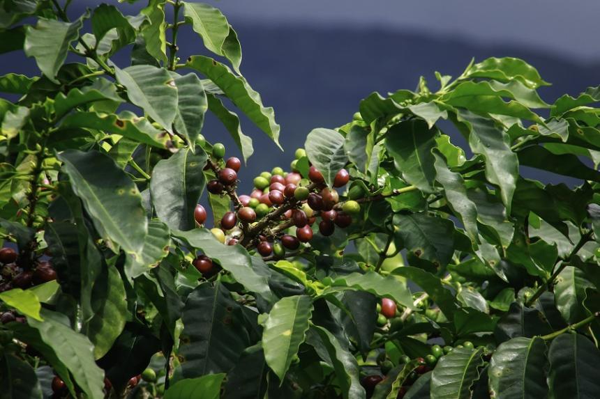 Producción de café en Colombia cayó un 9 por ciento en junio