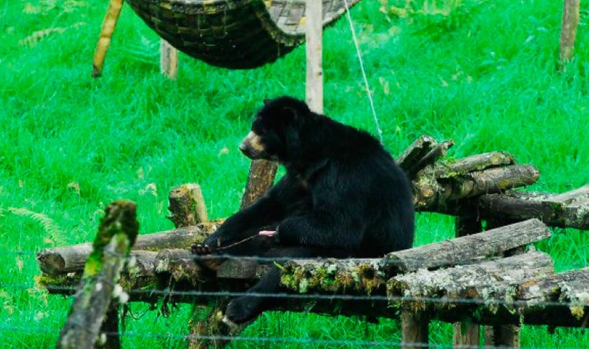 Corte Suprema de Colombia da derechos a oso — Histórico