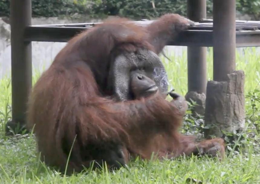 Orangután fuma cigarros que le tiran los visitantes a su jaula