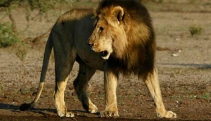 Leones matan a un joven que escaló el muro de un zoológico
