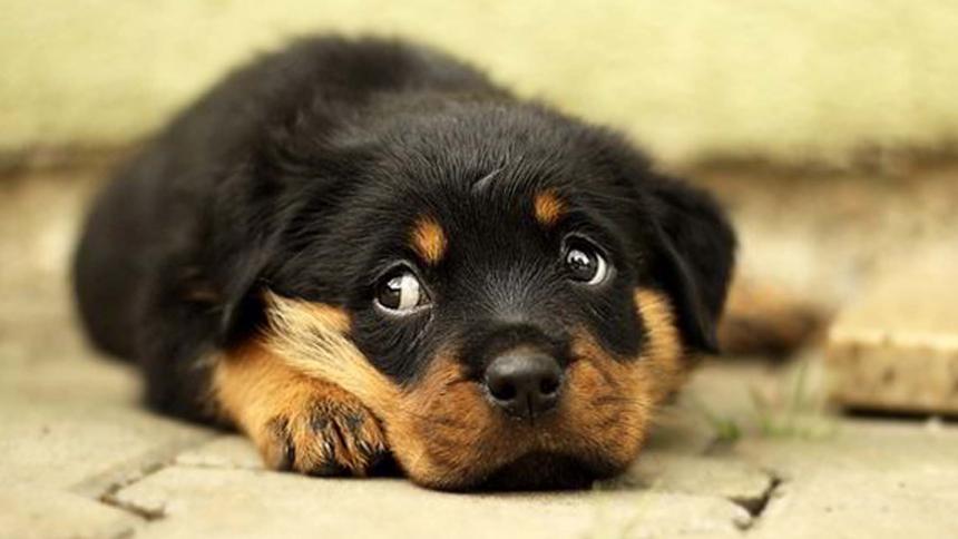 Un estudio reveló de dónde viene la 'mirada triste' de los perros