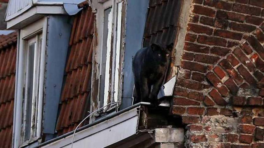 Una pantera se pasea a sus anchas por un tejado en Francia