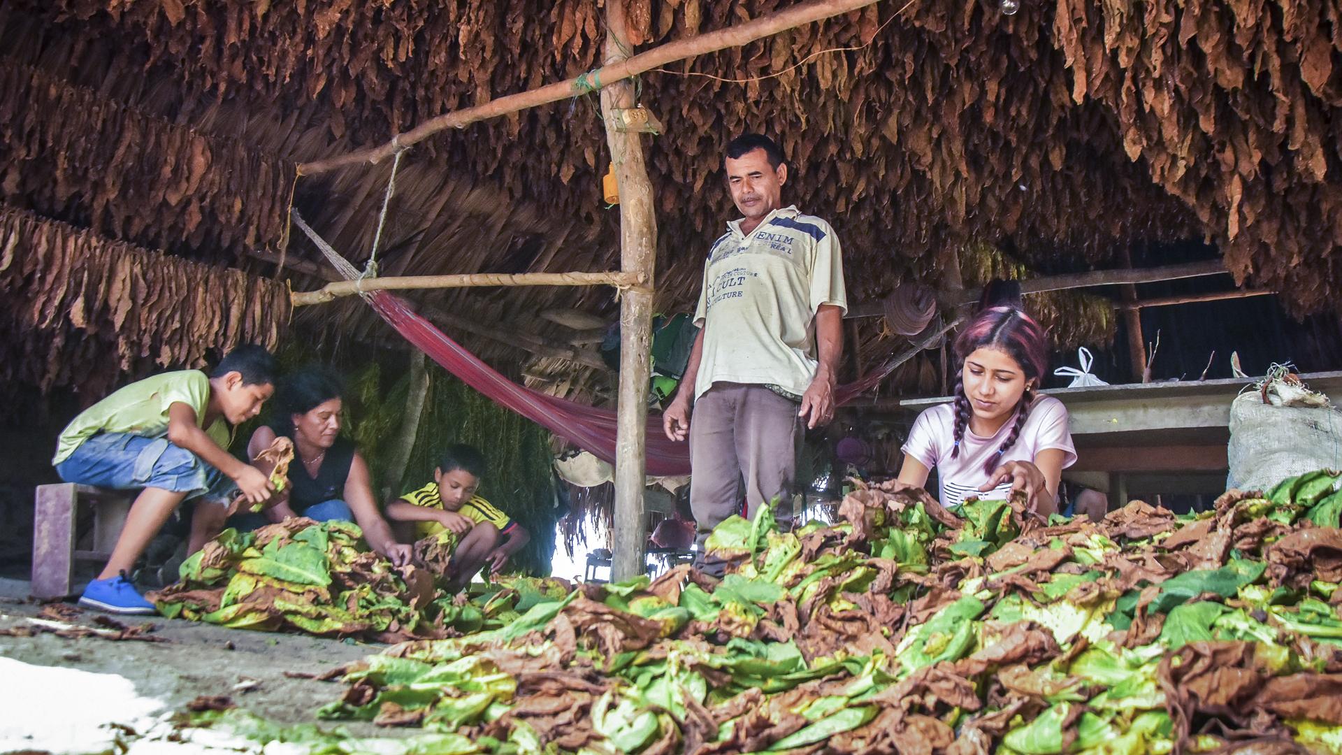 La familia Bohórquez Contreras selecciona las hojas de tabaco en la vereda San Francisco, en la zona rural de Ovejas (Sucre).
